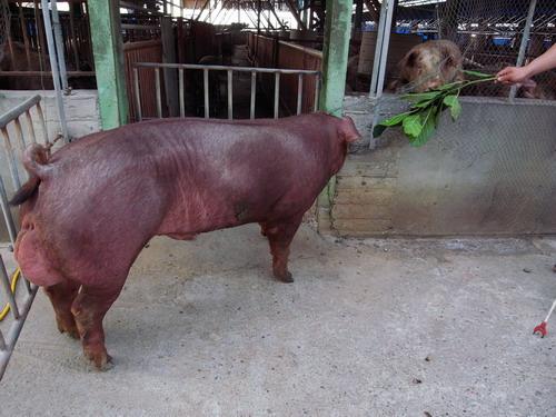 台灣種豬發展協會9802期D0199-09側面相片