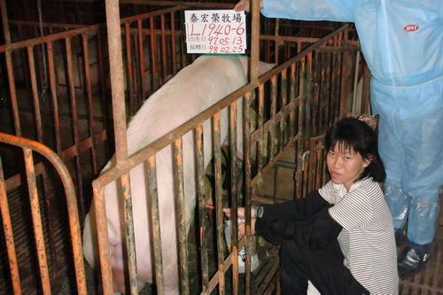 台灣種豬發展協會9802期L1940-06採精相片