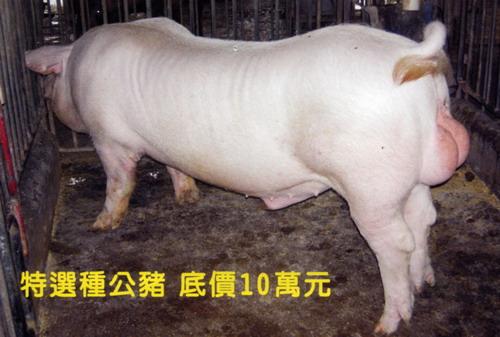 台灣種豬發展協會9802期L0664-09側面相片