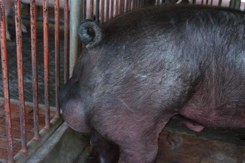中央畜產會200809期D0601-02體型-尾根相片