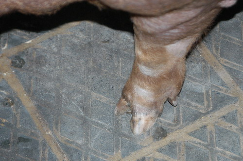 中央畜產會200809期D0560-03體型-四肢相片