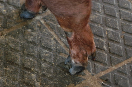 中央畜產會200809期D0566-01體型-四肢相片