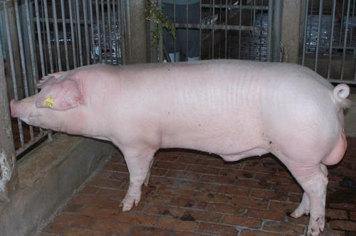 中央畜產會200809期L0899-01體型-全身相片