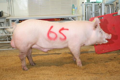 中央畜產會200809期Y0101-04拍賣照片(高價豬)