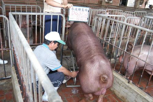 台灣種豬發展協會9803期D0637-03採精相片