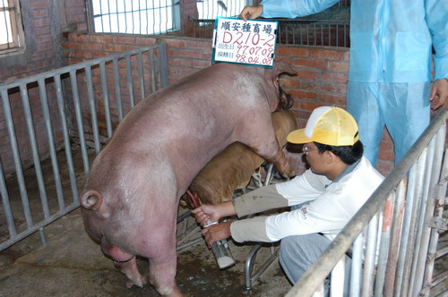 台灣種豬發展協會9803期D0210-02採精相片