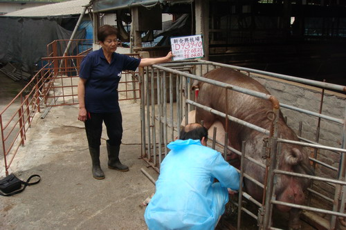 台灣種豬發展協會9803期D0939-10採精相片