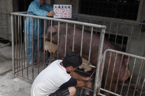 台灣種豬發展協會9803期D0701-05採精相片