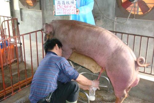 台灣種豬發展協會9803期D1344-02採精相片