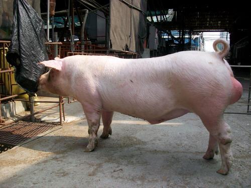 台灣種豬發展協會9803期L0039-07側面相片