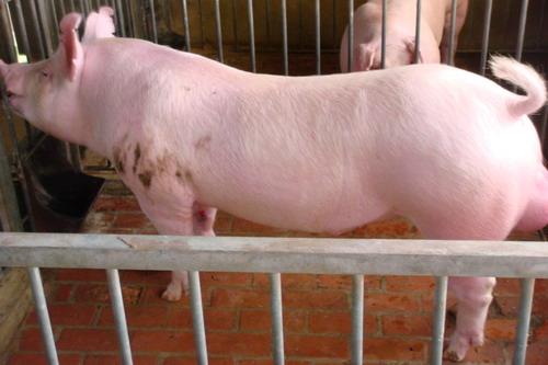 台灣種豬發展協會9803期L1689-11側面相片