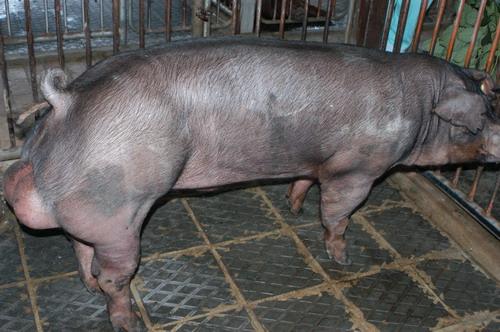 中央畜產會200810期D1349-10體型-全身相片