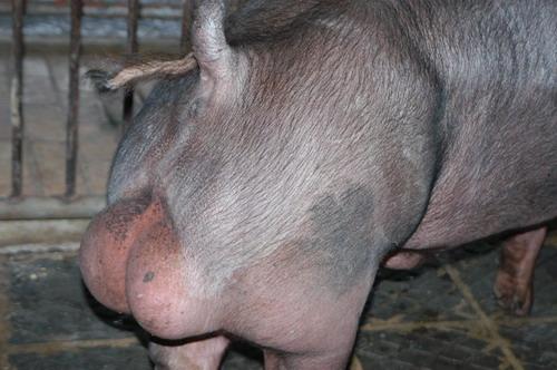 中央畜產會200810期D1349-10體型-尾根相片