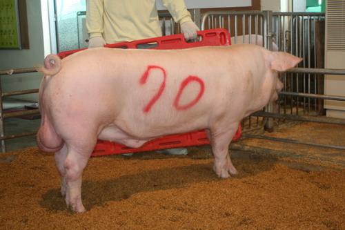 中央畜產會200810期L0160-06拍賣照片(高價豬)