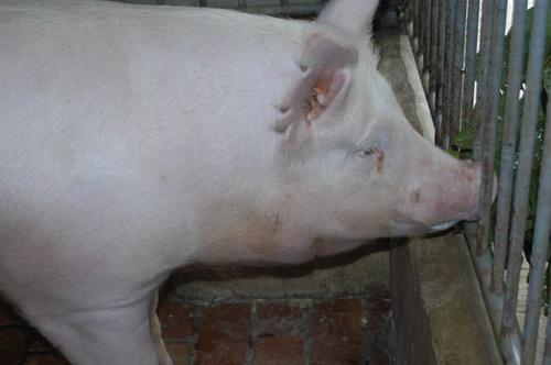 中央畜產會200810期Y0135-01體型-頭頸相片