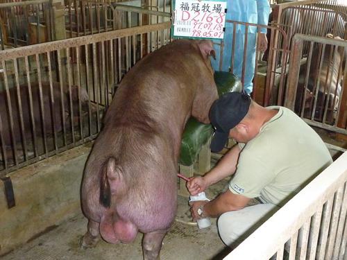 台灣種豬發展協會9804期D0216-08採精相片