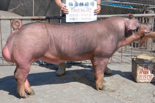 台灣種豬發展協會9804期D0536-02側面相片