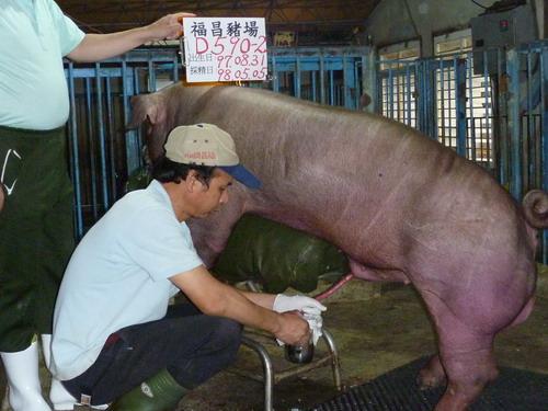 台灣種豬發展協會9804期D0590-02採精相片