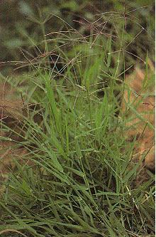 星草Cynodon plectostachyum (Schum.) Pilger