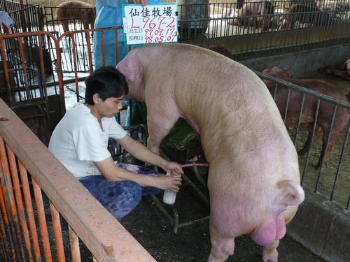 台灣種豬發展協會9804期L0967-02採精相片