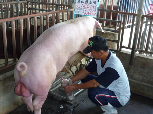 台灣種豬發展協會9804期L1261-08採精相片