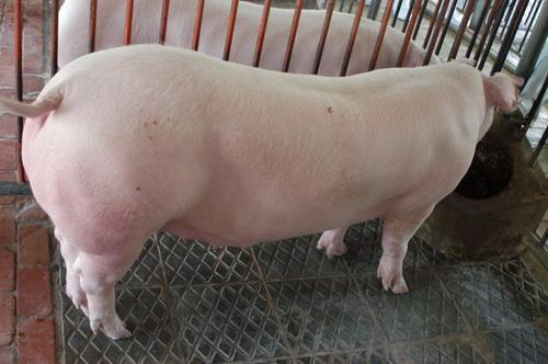 中央畜產會200811期L0454-11體型-全身相片