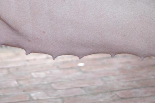 中央畜產會200811期L0454-11體型-性器外觀相片