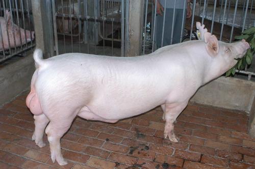 中央畜產會200811期Y0379-04體型-全身相片