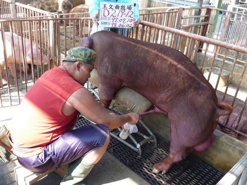 33-台灣種豬發展協會9805期D0219-12採精相片.jpg