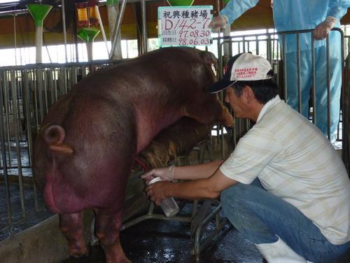 69-台灣種豬發展協會9805期D0142-07採精相片.jpg