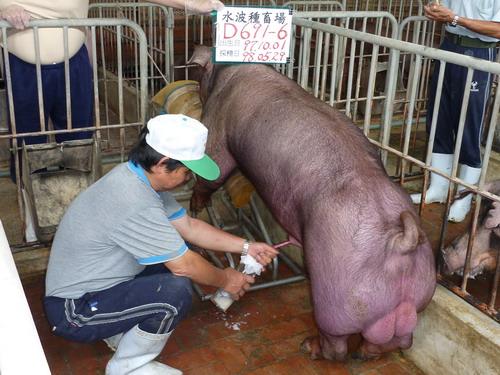 75-台灣種豬發展協會9805期D0691-06採精相片.jpg