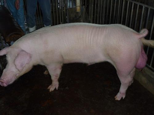 48-台灣種豬發展協會9805期L0761-09側面相片.jpg