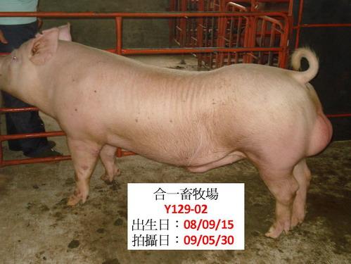 72-台灣種豬發展協會9805期Y0129-02側面相片.jpg