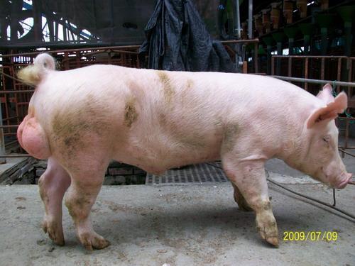 台灣種豬發展協會9806期Y0206-03側面相片