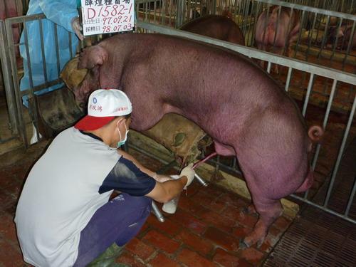 台灣種豬發展協會9806期D1582-01採精相片
