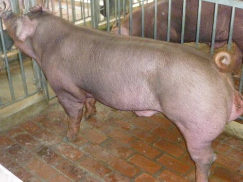 台灣種豬發展協會9806期D1582-01側面相片
