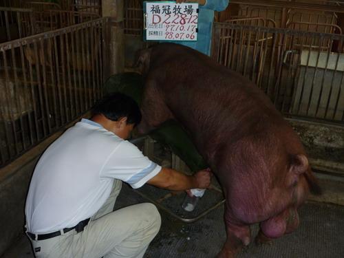 台灣種豬發展協會9806期D0228-12採精相片