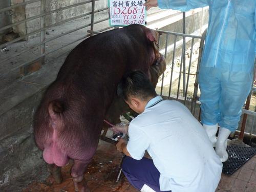 台灣種豬發展協會9806期D0268-01採精相片