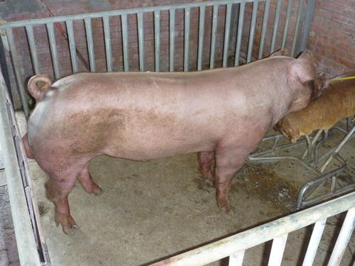台灣種豬發展協會9806期D0263-05側面相片