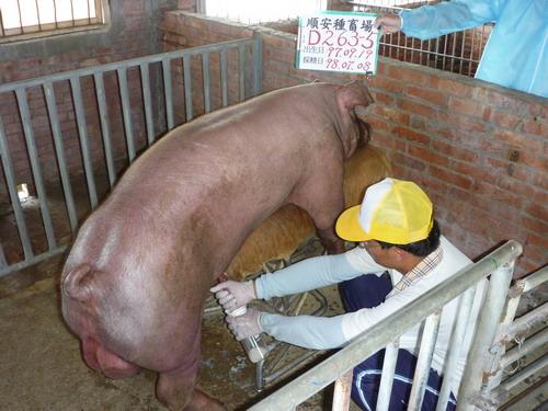 台灣種豬發展協會9806期D0263-05採精相片