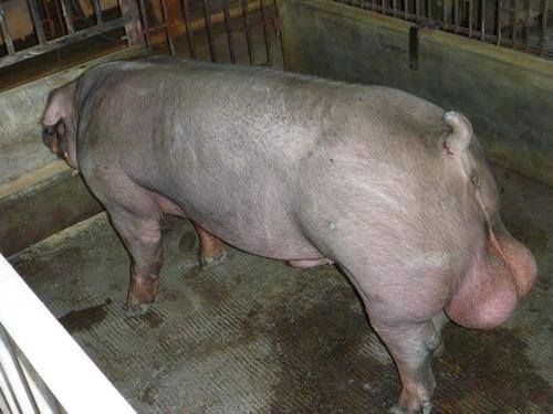 台灣種豬發展協會9806期D0231-12側面相片