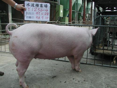 台灣種豬發展協會9806期Y1256-04側面相片