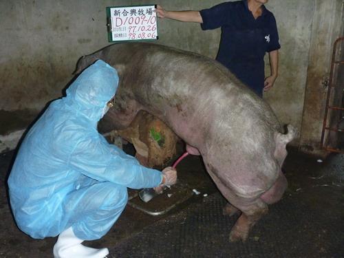 台灣種豬發展協會9807期D1009-10採精相片