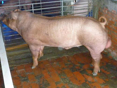 台灣種豬發展協會9807期D0313-01側面相片