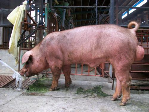 台灣種豬發展協會9807期D0235-01側面相片