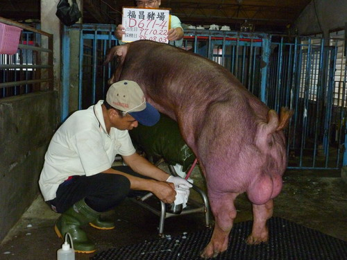 台灣種豬發展協會9807期D0671-04採精相片