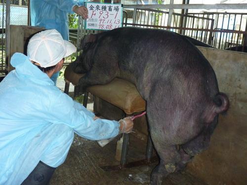 台灣種豬發展協會9807期F0093-01採精相片