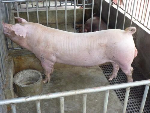 台灣種豬發展協會9807期L0469-05側面相片
