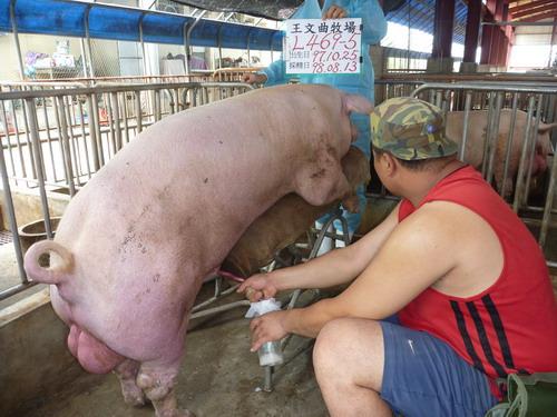 台灣種豬發展協會9807期L0469-05採精相片