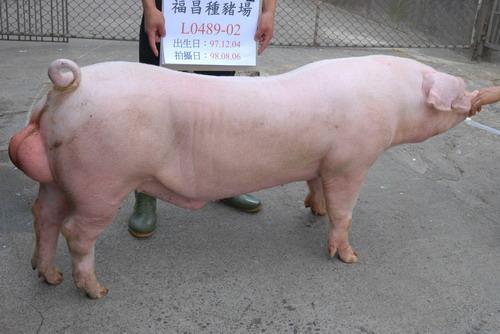 台灣種豬發展協會9807期L0489-02側面相片